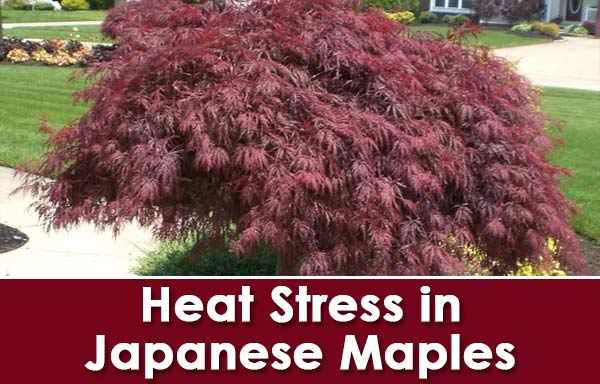Caring for Japanese Maples